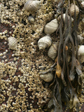 Spiral Wrack (Fucus Spiralis), Periwinkle (Littorina Littorina) and Barnacles, Acadia National Park Photographic Print by Scientifica