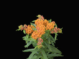 Butterfly Weed Flowers (Asclepias Tuberosa) Photographic Print by  Scientifica