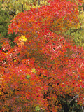 Autumn Foliage of the Eurasian Smoketree (Cotinus Coggygria) Photographic Print by  Consumer Institute/NSIL