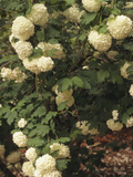 European Cranberry (Viburnum Opulus) Roseum Variety Photographic Print by  Consumer Institute/NSIL
