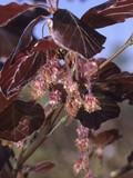 European Copper Beech Flowers and Leaves (Fagus Sylvatica Forma Purpurea) Photographic Print by  Consumer Institute/NSIL