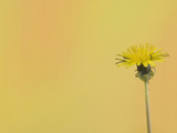 Dandelion (Taraxacum Officinale) Photographic Print by  Scientifica