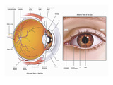 Illustrations Showing the Anatomy of the Human Eye from a Sagittal (Cut-Away) Giclee Print by  Nucleus Medical Art