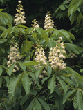Horse-Chestnut (Aesculus Hippocastanum), a Species from Southeast Europe Photographic Print by  Consumer Institute/NSIL