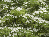 Oriental Dogwood Tree Flowers (Cornus Kousa) Photographic Print by  Scientifica