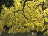 Autumn Foliage of the European Ash (Fraxinus Excelsior) Photographic Print by  Consumer Institute/NSIL