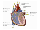 Illustration of an Anterior (Front) Cut-Away View of the Heart Giclee Print by  Nucleus Medical Art