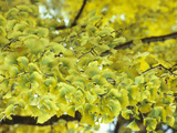 Leaves of the Ginkgo or Maidenhair Tree (Ginkgo Biloba) Turning Color in the Fall Photographic Print by  Consumer Institute/NSIL