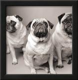 Three Pugs Print by Amanda Jones