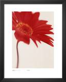 Gerbera, Bright Red On White Posters by Michael Banks