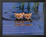 Cute Tiger Cubs Swimming in Lake Art Print Poster Prints
