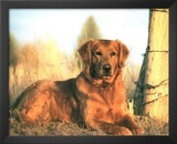Golden Retriever (Dog In Field) Art Poster Print Prints