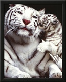 White Tigers Prints