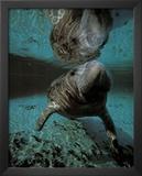 Manatee swimming Art Print Poster Poster