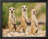Nambia - Meerkat Pups Prints