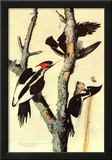 Audubon Ivory-Billed Woodpecker Bird Art Poster Print Posters