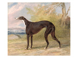 One of George Lane Fox's Winning Greyhounds: the Black and White Greyhound Bitch, Juno Giclee Print by George Garrard