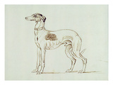 A Greyhound, Facing Left (Pen and Ink on Paper) Giclee Print by James Seymour