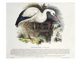 White Stork (Ciconia Alba), Giclee Print