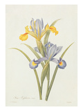 Iris (Colour Engraving) Giclee Print by Pierre-Joseph Redouté