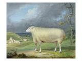 A Border Leicester Ewe Reproduction procédé giclée par James Ward