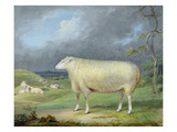 A Border Leicester Ewe (Oil on Canvas) Giclee Print by James Ward