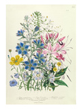 Cornflower, Plate 15 from 'The Ladies' Flower Garden', Published 1842 (Colour Litho) Giclee Print by Jane W. Loudon