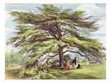 The Lebanon Cedar Tree in the Arboretum, Kew Gardens, Plate 21 Giclée-Druck von George Ernest Papendiek