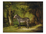 A Zebra, 1763 (Oil on Canvas) Giclee Print by George Stubbs