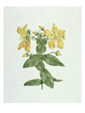 Feel-Fetch (Hypericum Quartinianum) (W/C over Graphite on Paper) Giclee Print by James Bruce