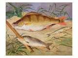 An Angler&#39;s Catch of Coarse Fish (Oil on Panel) Giclee Print by D. the Younger Wolstenholme
