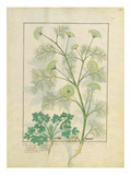 Ms Fr. Fv Vi No.1 Fol.154R Parsley and Fennel, Illustration from the 'Book of Simple Medicines' Giclee Print by Robinet Testard