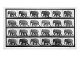 Elephant Walking, Plate 733 from 'Animal Locomotion', 1887 (B/W Photo) Giclée-tryk af Eadweard Muybridge