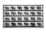 Elephant Walking, Plate 733 from 'Animal Locomotion', 1887 (B/W Photo) Giclee Print by Eadweard Muybridge