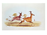 The Sassaybe and the Hartebeest, Illustration from 'Wild Sports of South Africa', by W.C. Harris Giclee Print by William Cornwallis Harris