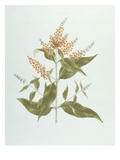 Umtar (Buddleia Polystachya) (W/C over Graphite on Paper) Giclee Print by James Bruce
