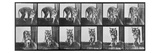 Tiger Pacing, from 'Animal Locomotion', 1887 (B/W Photo) Giclee Print by Eadweard Muybridge