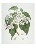 Walkuffa No.5 Dombeya Torrida (W/C over Graphite on Paper) Giclee Print by James Bruce