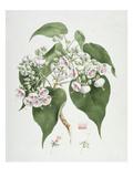 Walkuffa No.5 Dombeya Torrida (W/C over Graphite on Paper) Giclee Print by James Bruce