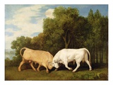 Bulls Fighting, 1786 (Oil on Panel) Giclee Print by George Stubbs