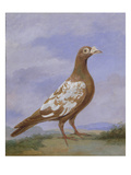 Red Pied Carrier Pigeon (Oil on Canvas) Giclee Print by D. the Younger Wolstenholme