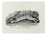 The Hare from 'History of British Birds and Quadrupeds' (Engraving) Impression giclée par Thomas Bewick