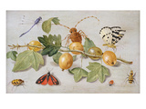 Still Life of Branch of Gooseberries, with a Butterfly, Moth, Damsel Fly and Other Insects Giclee Print by Jan Van, The Elder Kessel