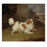 A Blenheim Spaniel, C.1820-30 (Oil on Canvas) Giclee Print by William Webb
