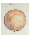 Mammee Apple (Litho) Giclee Print by John White