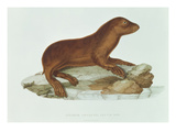 A Baby Australian Sealion (Neophoca Cinerea) Giclee Print by  French