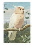 A Leadbetter's Cockatoo (W/C) Giclee Print by Henry Stacey Marks