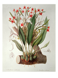 Orchid: Diothonca Imbricata and Maxillaria Eburnea from `Sertumorchidaceum', 1838 Giclee Print by John Lindley