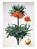 Fritillaria Imperialis, C.1630 Giclee Print by Pieter van Kouwenhoorn
