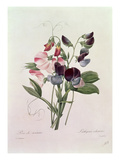 Sweet Peas (Lathyrus Odoratur) from &#39;Choix Des Plus Belles Fleurs&#39;, 1827-33 Giclee Print by Pierre Joseph Redoute